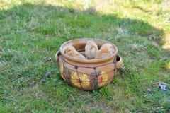 Galinhas e ovos do bebê Fotografia de Stock Royalty Free
