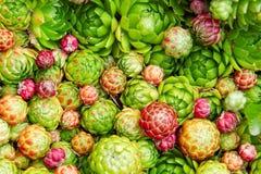 Galinhas e pintainhos (globifera de Jovibarba) Fotografia de Stock