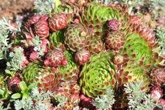 Galinhas e pintainhos - soboliferum de Sempervivum Imagens de Stock Royalty Free