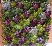 Galinhas e plantas carnudas dos pintainhos Imagem de Stock