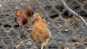 Galinhas em uma gaiola de galinha Engranzamento da galinha filme