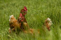 Galinhas livres na exploração agrícola orgânica do ovo que andam na grama verde imagens de stock royalty free