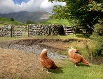 Galinhas na cabeça de Wasdale, Cumbria Fotografia de Stock