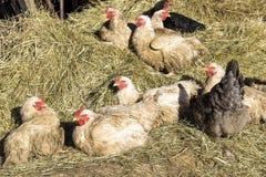 Galinhas na exploração agrícola Imagens de Stock Royalty Free