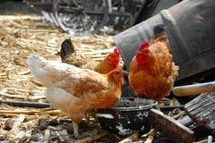 Galinhas na jarda de exploração agrícola rústica Fotografia de Stock Royalty Free
