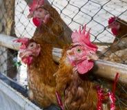 Galinhas no henhouse Imagens de Stock Royalty Free