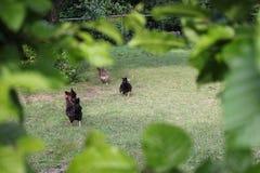 Galinhas no jardim fotografia de stock royalty free