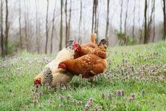 Galinhas orgânicas ar livre na primavera imagem de stock