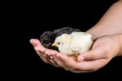 Galinhas pequenas do bebê nas mãos das crianças com fundo preto Fotos de Stock