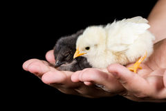 Galinhas pequenas do bebê nas mãos das crianças com fundo preto Imagem de Stock