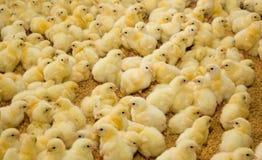 Galinhas pequenas na exploração avícola Fotografia de Stock