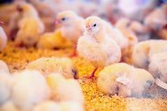 Galinhas pequenas na incubadora ou na capoeira da exploração agrícola imagens de stock