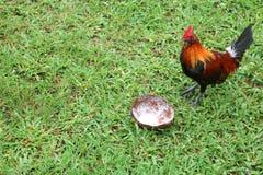 Galinhas que comem o shell do coco no jardim foto de stock