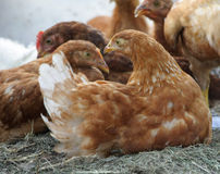 Galinhas vermelhas, galinhas em uma exploração agrícola Imagens de Stock Royalty Free