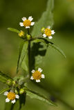 Galinsoga ciliata Royalty Free Stock Photos