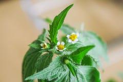 Galinsoga quadriradiata, Galinsoga ciliata shaggy soldier, Peruvian daisy, hairy galinsoga, fringed quickweed . Galinsoga quadriradiata, Galinsoga ciliata Royalty Free Stock Image