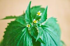 Galinsoga quadriradiata, Galinsoga ciliata shaggy soldier, Peruvian daisy, hairy galinsoga, fringed quickweed . Galinsoga quadriradiata, Galinsoga ciliata Stock Photos