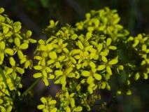Galio amarillo imagen de archivo
