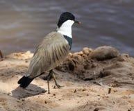 galispo Dente-voado que anda na costa do rio Foto de Stock