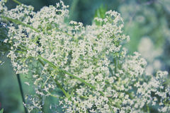 Galium boreale Royalty Free Stock Photography