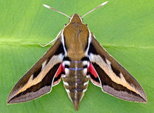 Galium Sphinx Moth Royalty Free Stock Photos