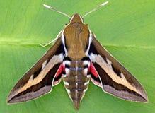 Free Galium Sphinx Moth Royalty Free Stock Photos - 27192288