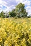 Galium verum in the Meadow Stock Images