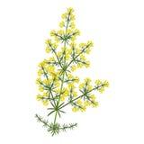 Galium verum plant Royalty Free Stock Photography