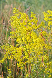 Galium verum or yellow bedstraw (Latin Galium verum) Stock Images