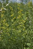 Galium verum plant. Galium verum with yellow flowers royalty free stock images