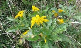 Galiumverum Royaltyfria Bilder
