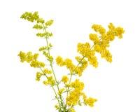 Galiumverum, bedstraw för dam` s eller gul bedstraw royaltyfri foto