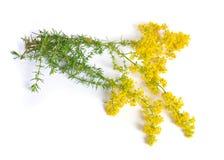 Galiumverum, bedstraw för dam` s eller gul bedstraw Isolerat på vit royaltyfri bild
