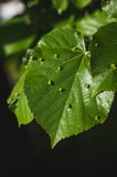 Gall mites on linden tree leafs Stock Image