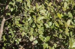 Gall Oak, Eiche faginea Lizenzfreie Stockbilder