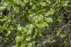 Gall Oak, Quercus faginea. Foliage of Gall Oak, Quercus faginea. Photo taken in Guadalajara Province, Spain Stock Image