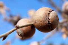 Gall oak, Quercus infectoria tree or Aleppo oak closeup on blue sky background. Gall oak, Quercus infectoria tree, Aleppo oak or Manjakani galls closeup on blue Stock Photos