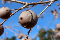 Quercus infectoria tree or Aleppo oak closeup on blue sky background. Gall oak, Quercus infectoria tree, Aleppo oak or Manjakani closeup on blue sky and branches Stock Photos