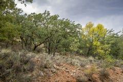 Gall Oak-Wald Stockfoto