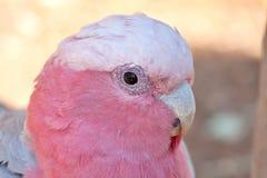Gallah Bird Royalty Free Stock Photo