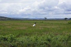 Gallan grzech Ventura lub jesteśmy wielkim latającym ptakiem w Ameryka Fotografia Stock
