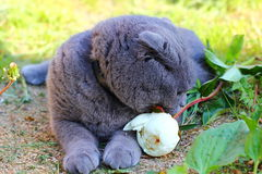 Gallant cat. Its you sorry and the smell pictured cat as if apologizing for the error and gives a flower peony, scottish fold Royalty Free Stock Image