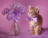 Gallant Red kitten. Portrait of red kitten with lilac bouquet on pink background Royalty Free Stock Photo