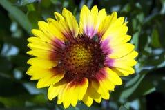 Free Gallardia Flower Royalty Free Stock Images - 6733119