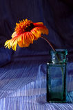 Gallardia no vaso Imagem de Stock Royalty Free