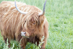 Galloway Cattle Royalty Free Stock Photography
