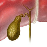 Gallbadder. Gallbladder or gall bladder human internal organ as a function of the digestive system to store bile as part of the biliary system of the body as a Stock Images