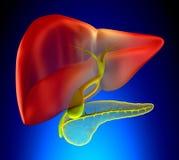 Gallbladder Cross Section Real Human Anatomy - on blue backgroun Stock Image