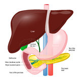 Gallbladder duct. anatomy of the pancreas, liver, duodenum and s Royalty Free Stock Image