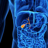 The gallbladder Stock Images